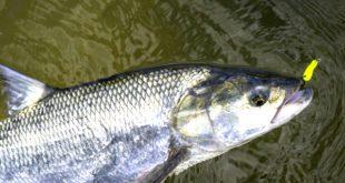 Balin horgászata és ismertetése